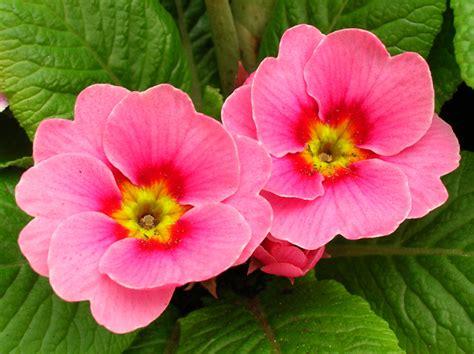 la primula fiori piante e fiori che annunciano la primavera sgaravatti eu