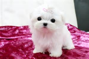 maltese puppies for sale in ms ms puppy connection fabulous maltese puppy for sale