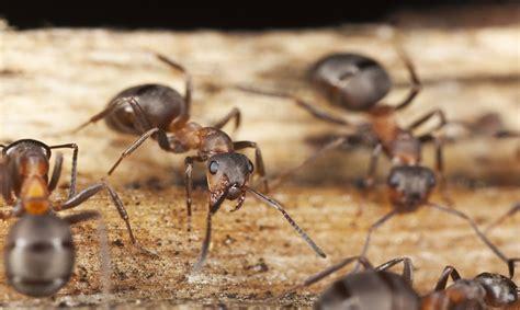 come eliminare le formiche dalla cucina formiche in casa come eliminarle dalla cucina urbanpost