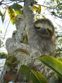 Three toed sloth bradypus variegatus