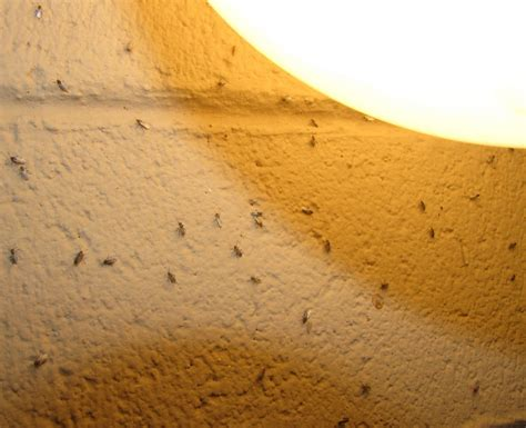 Ants In Kitchen Cabinets by Small Orange Flies In Kitchen Quicua Com