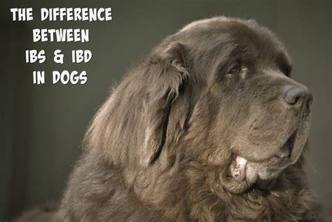 ibs in dogs the difference between ibd and ibs in dogs mybrownnewfies