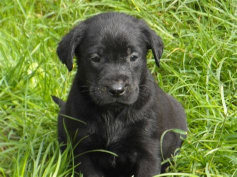 pics of black lab puppies beautiful black lab puppies lincoln lincolnshire pets4homes
