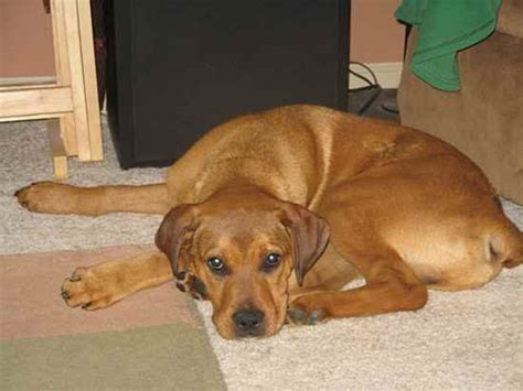 boxweiler puppies for sale rottweiler mix puppies for sale breeds picture