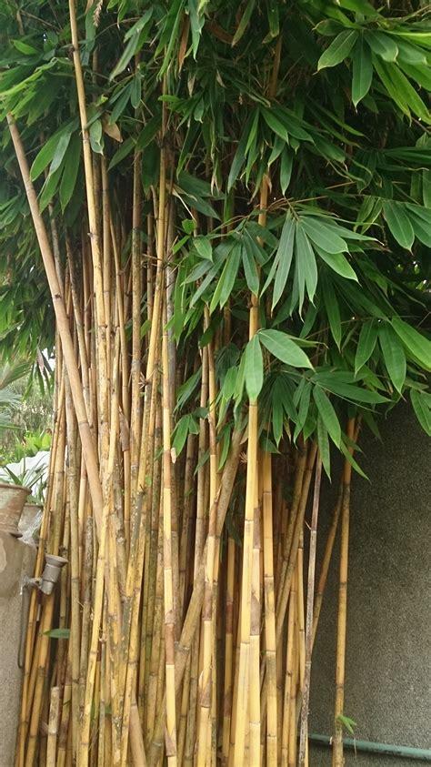 file bamboo tree jpg