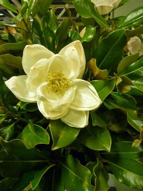 fiori bianchi invernali fiori bianchi per l inverno la magnolia rosanna frapporti