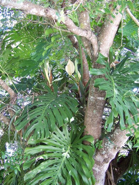 tropical climbing plant 17 best images about mahogany trees on trees