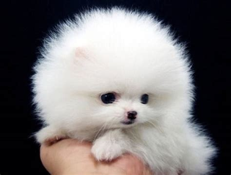 fluffiest puppies pin fluffiest on