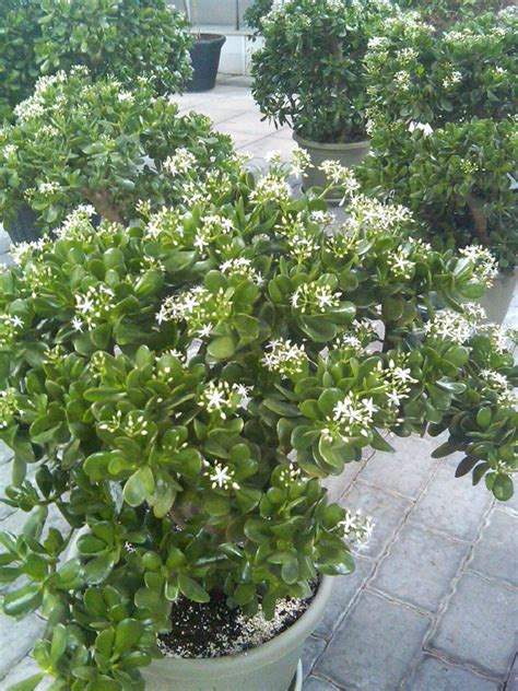 Jade Gardens by Succulents In Bloom At Jade Gardens And Greenhouses