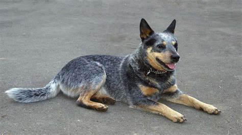 blue heeler german shepherd mix puppy blue heeler german shepherd mix cross breed of convenience ihome pets