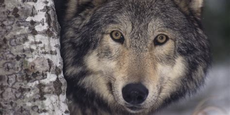 a wolf kills gray wolf seen in iowa in 89 years huffpost