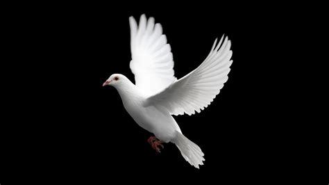 doves hd wallpaper 557370 jpg nature birds wallpapers hd desktop and mobile backgrounds