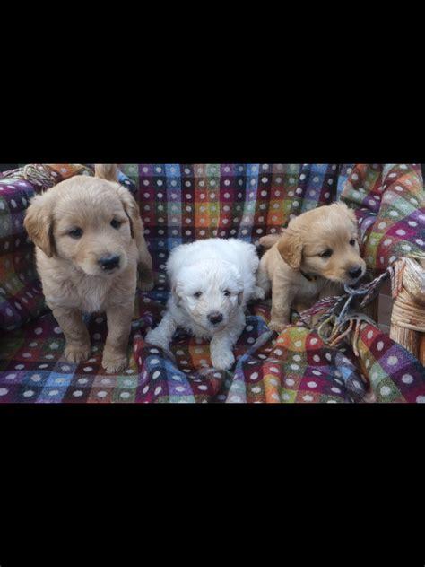 labradoodles puppies for sale kent labradoodle puppies cranbrook kent pets4homes
