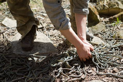 narcisse snake dens   momot