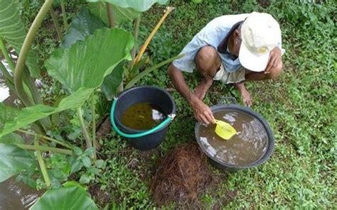 Bibit Gurame Angsa produksi telur gurame unggulan untuk usaha budidaya mata