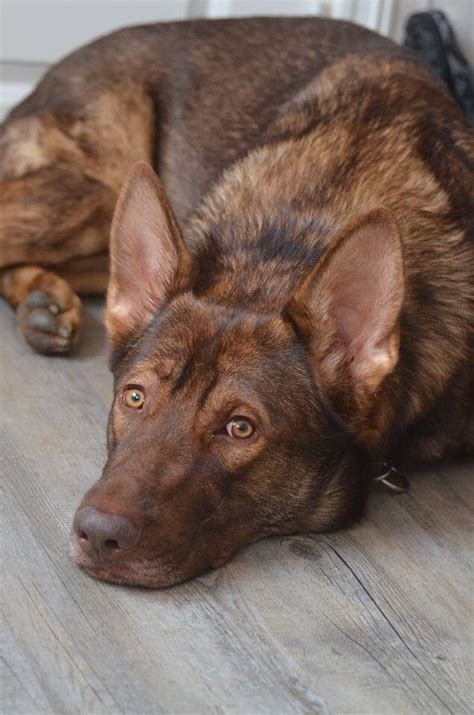 liver german shepherd solid liver colored german shepherd breeds picture