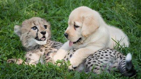 cheetah puppy baby cheetah and pup become fast friends at the columbus zoo today
