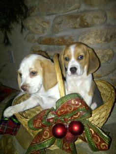 ocala4sale puppies beagle puppies on beagles baby beagle and lemon beagle