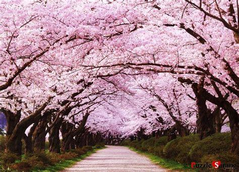 imagenes cerezo japones resultado de imagen para arbol de sakura lugares para