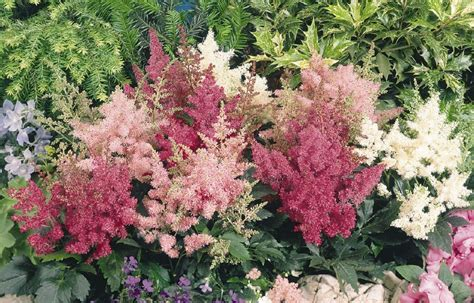 shade tolerant flowering shrubs 10 shade tolerant flowers