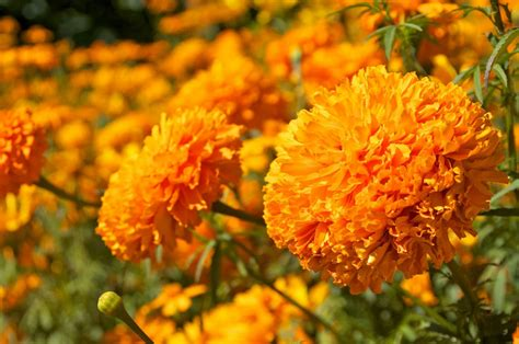 imagenes de flores de muertos flor de cempaz 250 chitl alinka mexico