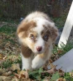 Miniature australian shepherd puppies for sale in midland ontario