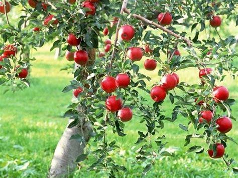 piante da frutta in vaso piante di frutta frutteto piante frutta