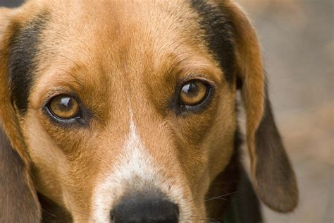 dogs eye is beagle hound of photograph by kathy clark