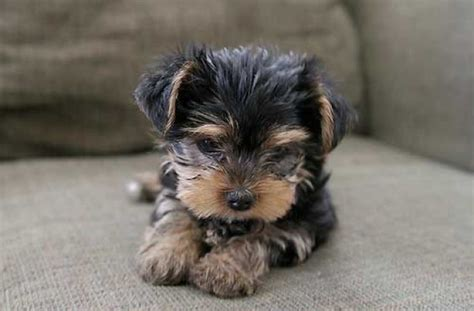 small yorkie puppies of a place to dogs puppies yorkie small dogs litle pups