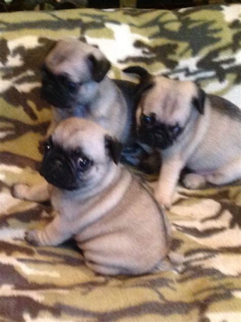 pug puppies for sale sheffield fawn pug puppies sheffield south pets4homes