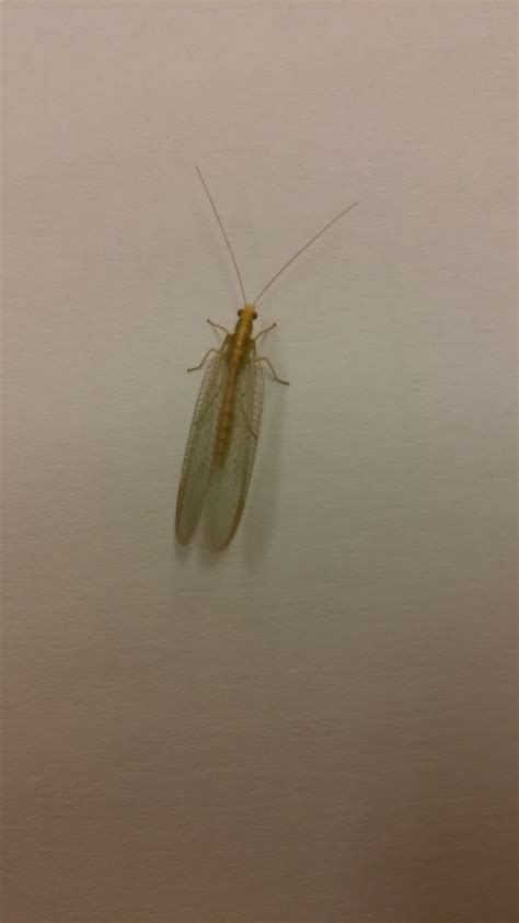 grote zwarte vliegen in huis overlast van groene gaasvlieg in mijn gebouw of huis