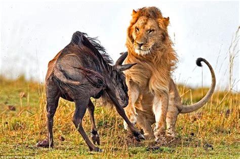 imagenes leones cazando leon cazando en una manada de 241 us animales en video