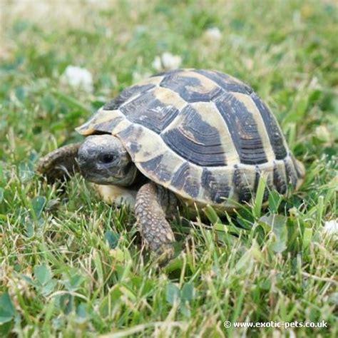 how should a tortoise heat l be on hermann tortoise testudo hermanni