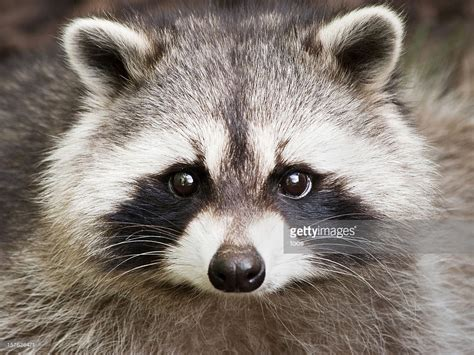 raccoon images up of a raccoon stock photo getty images
