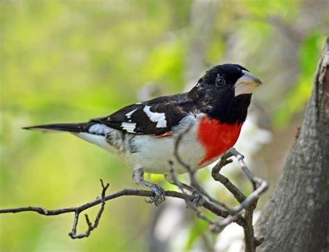 57 best michigan birds images on pinterest bird birds