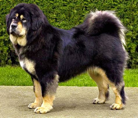 tibetan mastiff puppy beautiful tibetan mastiff photo and wallpaper beautiful beautiful tibetan mastiff