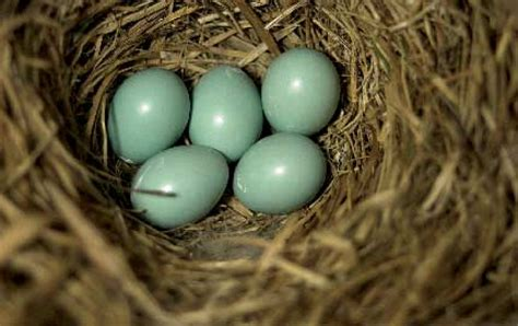 bluebird eggs color why are bluebird eggs blue