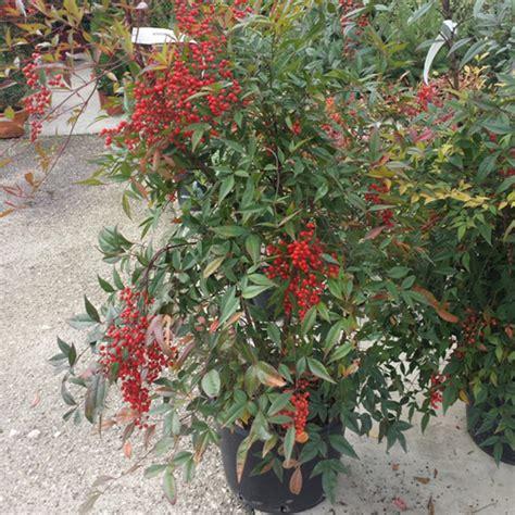 nandina domestica in vaso nandina domestica bamb 249 celeste la pianta mese di