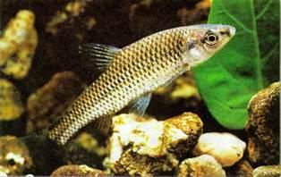 Freshwater Fish Avenger Freshwater Fish Pictures
