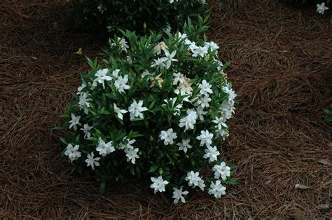 gardenia care guide why didn t i think of that dwarf gardenia an irresistible scented houseplant and