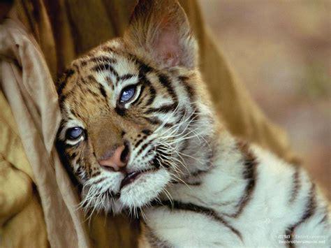 wallpaper anak harimau lucu foto anak harimau yang lucu dan menggemaskan