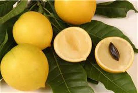 Pohon Buah Abiu 6 manfaat buah abiu untuk kesehatan tubuh