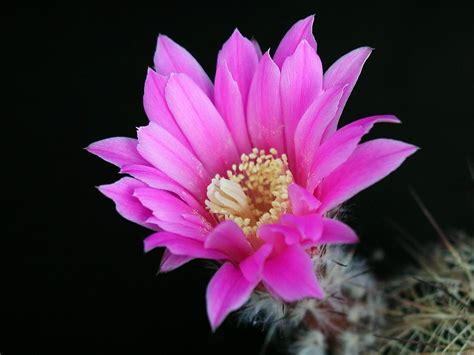 flowers blooming file cactus flower blooming jpg