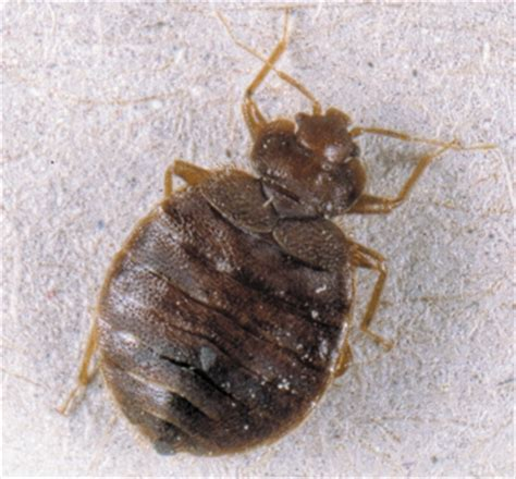 do bed bugs carry diseases how do you say bed bugs in spanish 28 images the spanish bed bug trap the way it