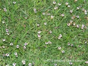 texas lawn weeds with stickers pictures to pin on pinterest pinsdaddy