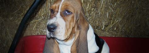 basset hound puppies near me akc basset hound puppies for sale bloodhound breeders in indiana hydens hounds