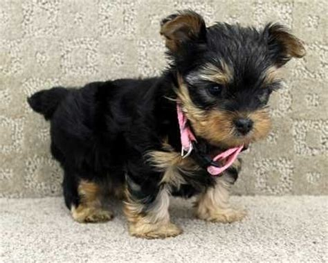 where can i get a yorkie for cheap 17 best images about puppies on texts pets and health