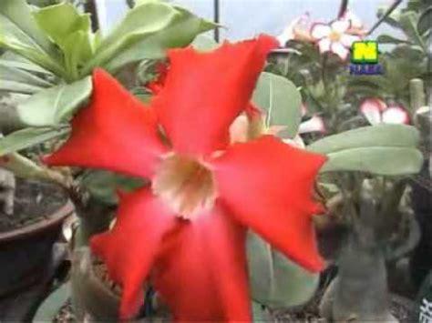 Pupuk Bunga Nasa tanaman hias doovi
