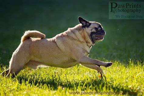 see pug run book run pug run pugs puginvasion dogs
