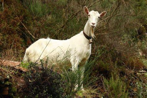 de cabras cabras ra 231 as caprinos e ovinos animais cultura mix
